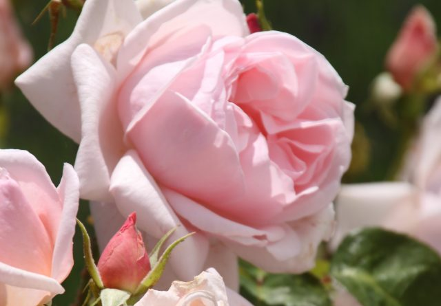 roze tuinroos