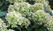 pluimhortensia_paniculata limeligt